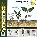 Dynamic Photosynthesis
