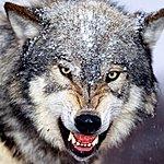 Wolfpack 123whore - Single