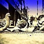 Monique Lanier Pigeons