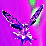 David Reo Butterfly